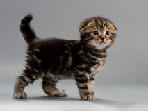Casta masculina del doblez del escocés del gatito Fotografía de archivo