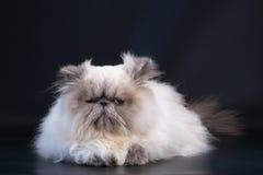 Casta masculina del gato persa Fotografía de archivo