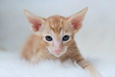 Casta oriental del gatito Fotos de archivo