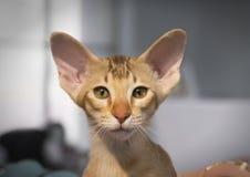 Casta oriental del gatito Imágenes de archivo libres de regalías