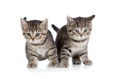 Casta pura británicos rayados de dos gatitos Foto de archivo