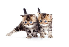 Casta pura británicos rayados de dos gatitos aislados Imagenes de archivo