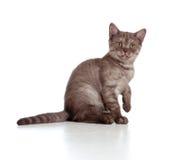 Casta pura británicos rayados del pequeño gatito Imagen de archivo libre de regalías