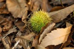 Castaña, árbol de castaña, macro del bosque, hojas verdes y musgo Fotos de archivo