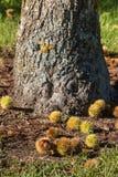 Castañas dulces maduras en la tierra Imagen de archivo