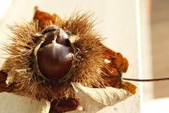 Autumn Leaf e castagna asciutti Fotografia Stock Libera da Diritti