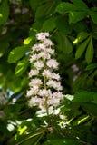 Castagna del fiore Immagini Stock Libere da Diritti