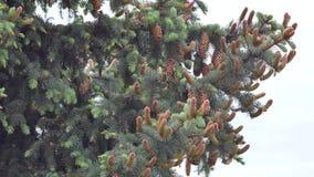 Castagna del fiore della castagna su un fondo verde archivi video