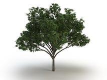 Castagna dell'albero fotografia stock