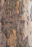Castagna della corteccia di albero Fotografia Stock