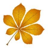 Castagna della foglia di autunno Fotografia Stock Libera da Diritti