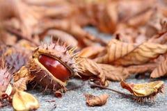 Castagna di autunno Fotografia Stock