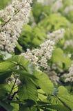Castagna di fioritura Fotografia Stock