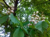 Castagna di fioritura Immagine Stock