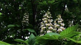Castagna di fioritura in primavera di un giorno soleggiato stock footage