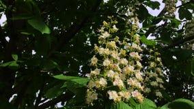 Castagna di fioritura in primavera di un giorno soleggiato archivi video