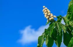 Castagna e cielo blu Fotografie Stock Libere da Diritti