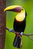 Castagna-mandibled Toucan, dall'America Centrale. Fotografie Stock