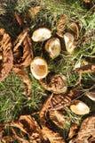 Castagna matura della frutta Immagini Stock