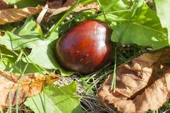 Castagna matura della frutta Fotografie Stock Libere da Diritti