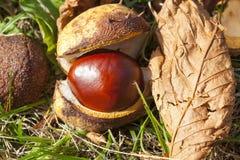 Castagna matura della frutta Immagine Stock Libera da Diritti
