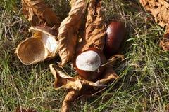 Castagna matura della frutta Fotografia Stock Libera da Diritti