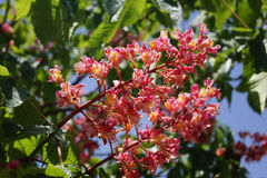 Castagna rossa del fiore Fotografie Stock