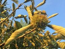 Castagna sull'albero Immagini Stock Libere da Diritti