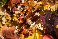 Castagna sulle foglie di acero Fotografia Stock