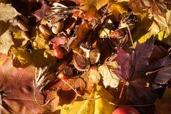 Castagna sulle foglie di acero Immagine Stock
