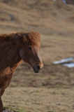 Castagna vagante Roan Horse Fotografie Stock Libere da Diritti