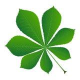 Castagna verde del foglio Immagini Stock Libere da Diritti