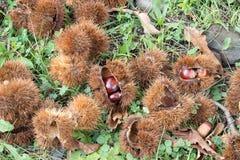 Castagne, castanea sativa sul pavimento del terreno boscoso Immagini Stock