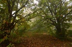 Castagne di Forest Very Leafy Full Of del castagno sulla terra un giorno nebbioso nel Medulas Natura, viaggio, paesaggi fotografia stock libera da diritti