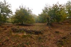 Castagne di Forest Very Leafy Full Of del castagno sulla terra un giorno nuvoloso nel Medulas Natura, viaggio, paesaggi immagine stock libera da diritti