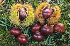 Castagne, frutta dell'albero di castagne & x28; Sativa& x29 del Castanea; Immagini Stock Libere da Diritti