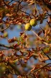 Castagne sull'albero Fotografia Stock