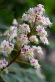 Castagno di fioritura in primavera Immagini Stock Libere da Diritti