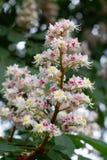 Castagno di fioritura in primavera Fotografie Stock Libere da Diritti