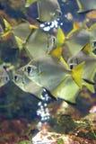 Castagnoles argentées ou blanches Image stock