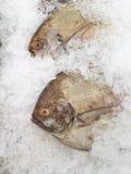 Castagnoles noires fraîches sur la glace Image libre de droits