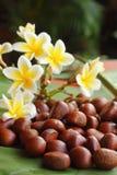 Castanea Royaltyfria Bilder