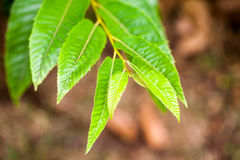 Castanea crenata (Japanese chestnut). Leaves with details royalty free stock photo