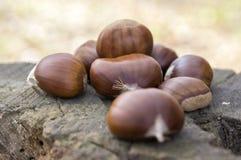 Castanea sativa, плодоовощи maroon сладостного каштана Стоковое Изображение