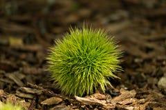 Сладостный каштан (Castanea sativa) Стоковая Фотография RF