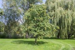 Castanea sativa boom tijdens de vroege herfst in het park, takkenhoogtepunt van zoete kastanjes in doornige cupules en bladeren stock foto's