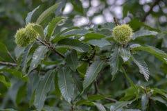 Castanea sativa, słodcy kasztany chujący w spiny cupules, smakowite brudno- dokrętki marron owoc fotografia royalty free