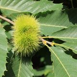 Castanea sativa Royalty Free Stock Photo