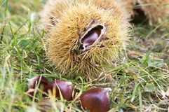 Castanea sativa, sweet chestnuts hidden in spiny cupules. Tasty brownish nuts marron fruits in the grass Royalty Free Stock Image
