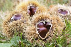 Castanea sativa, sweet chestnuts hidden in spiny cupules. Tasty brownish nuts marron fruits in the grass Stock Photos